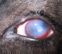 Cloudy patch in horses eyes